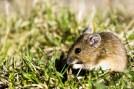 Mouse Kullaberg