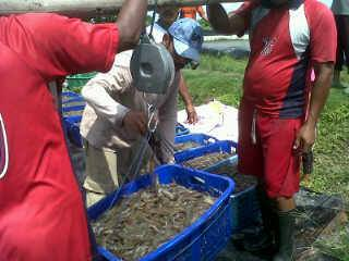 Lampung shrimp farmers work independently