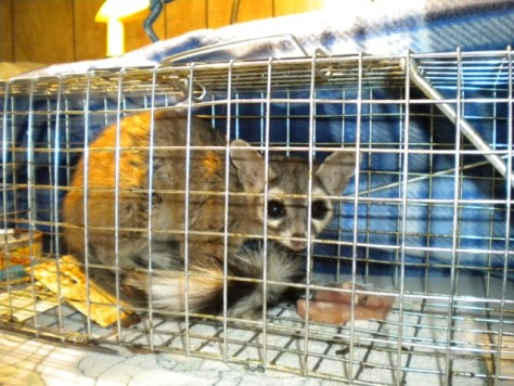 ESWC PHOTO:This dispersing juvenile Ringtail wandered into an outbuilding at CalTrans