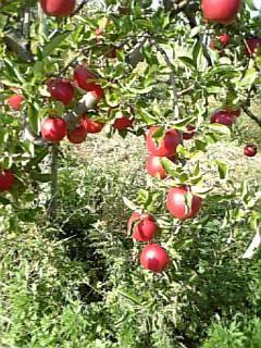 吉ざえもん農園のりんご
