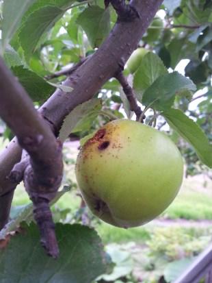虫食いりんご20140725