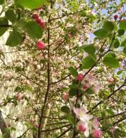 吉ざえもん農園の異色のりんごの木