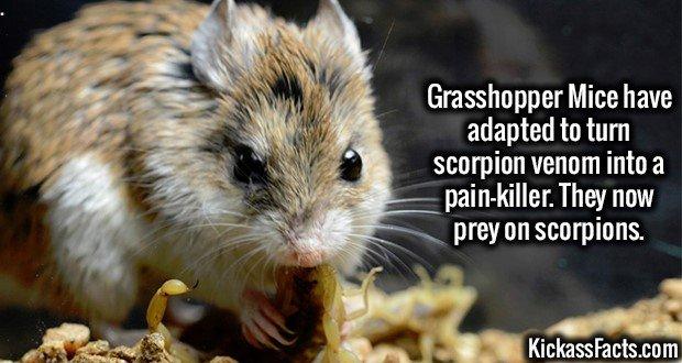 1959 Grasshopper Mice