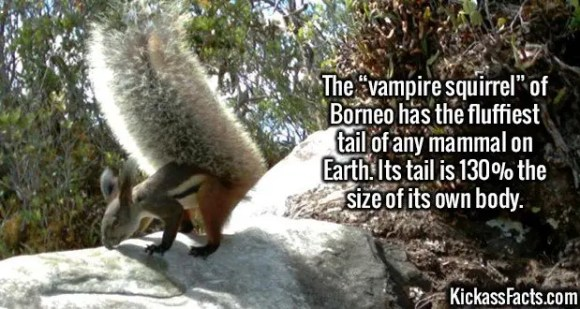 "2582 Vampire Squirrel-The ""vampire squirrel"" of Borneo has the fluffiest tail of any mammal on Earth. Its tail is 130% the size of its own body."