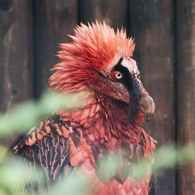 03. Bearded vultures