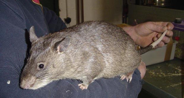giant-rat-sniff-landmine