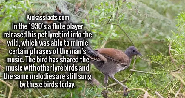 In the 1930's a flute player released his pet lyrebird into the wild, which was able to mimic certain phrases of the man's music. The bird has shared the music with other lyrebirds and the same melodies are still sung by these birds today.