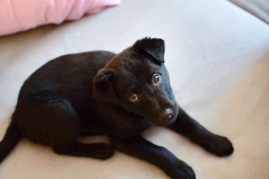 a black puppy looking soulfully at camera