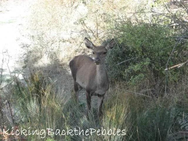 Deer in Mt. Parnitha | Kicking Back the Pebbles