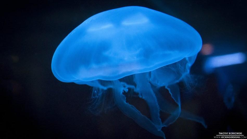 jellyfish-8-23-2014