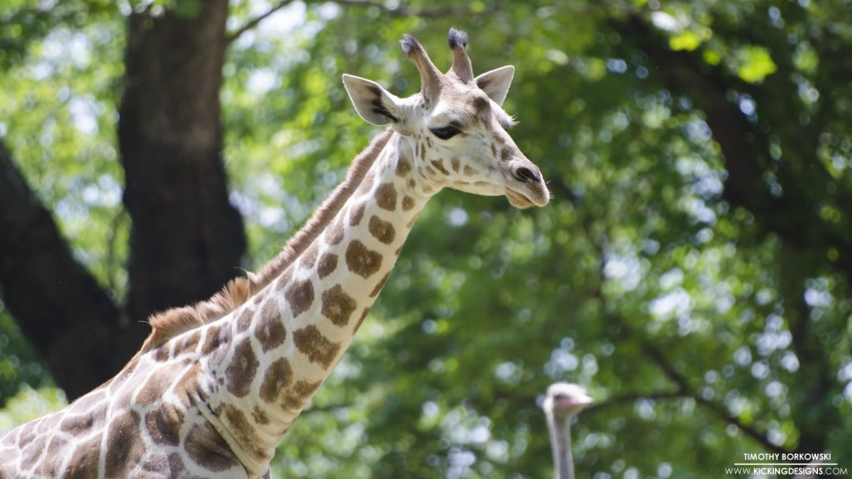 giraffe-5-15-2017_full-hd