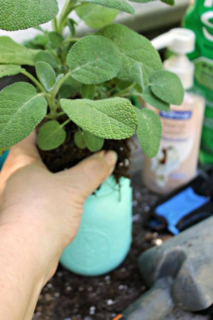 DIY Ombre Painted Mason Jar Planters planting