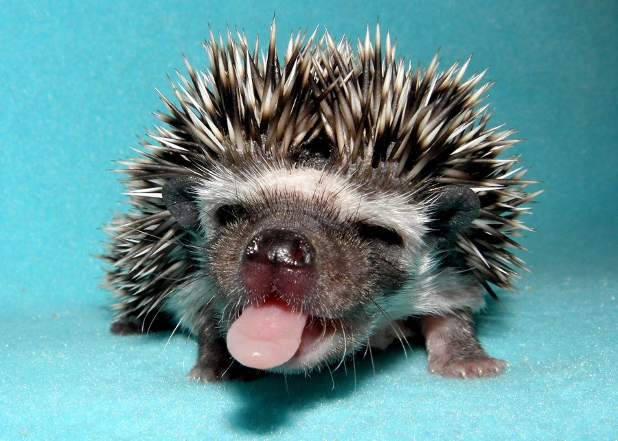 Image result for hedgehogs cute