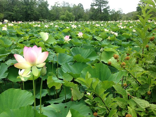 Summertime at Kenilworth Aquatic Gardens, when the lotus flowers bloom