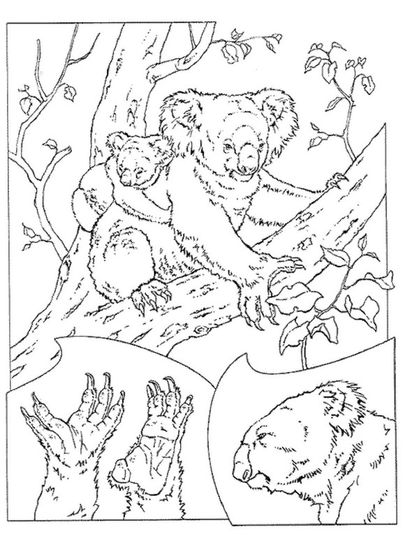 koala bear coloring pages coloring pages now