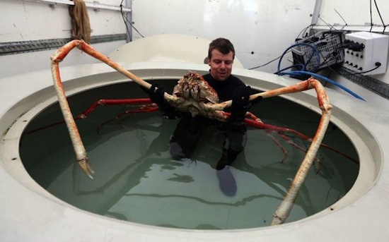Image result for japanese spider crabs