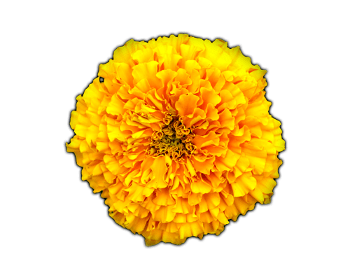 FLOWERS MARIGOLD Learn About Marigold Marigold Lessons