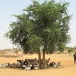 tree shading goats by village