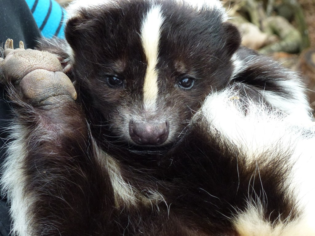 skunks face