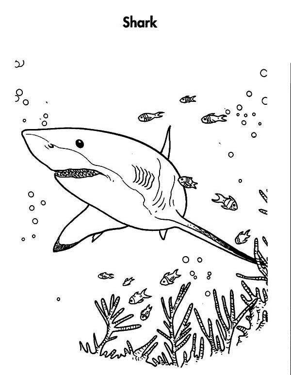 white shark is hunting for the prey coloring page kids play color