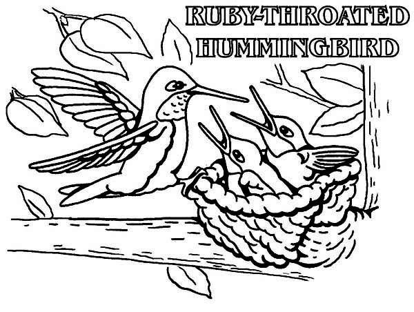 ruby throated humming bird feed their baby coloring page kids