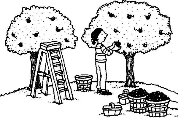 farmer harvest apple from apple tree coloring page kids play color