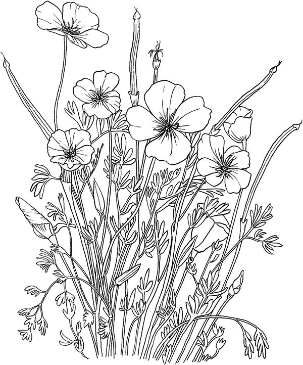 california poppy california poppy in the garden coloring page