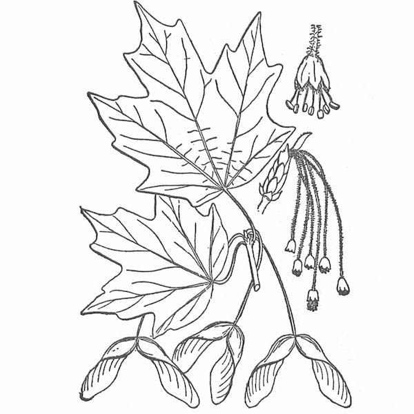 maple leaf hard maple leaf coloring page