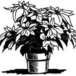 how to sketch poinsettia for national poinsettia day coloring page