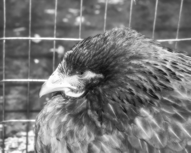 chickenbernie