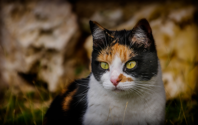 kittycalico