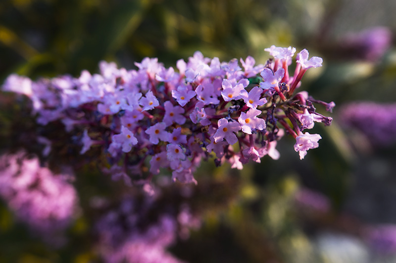 purpleflwowere