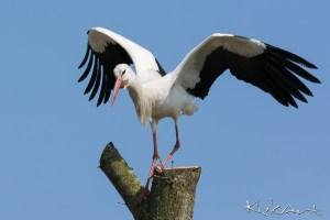 Ooievaar met gespreide vleugels
