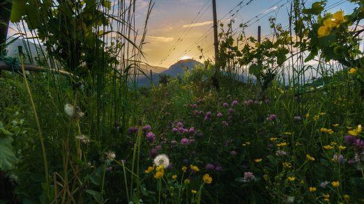 Sonnenuntergang in unserem Weinberg