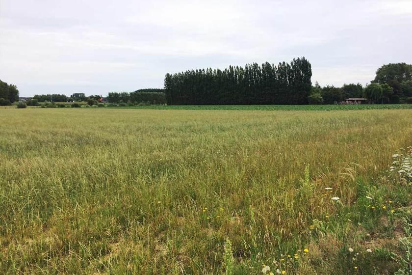 Campos de trigo y nabos camigo de Benoit de Witte