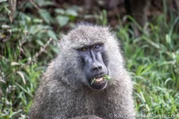 Baboon, Serengeti, Tanzania