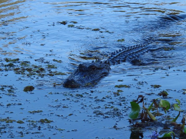 New Orleans Swamp Tour