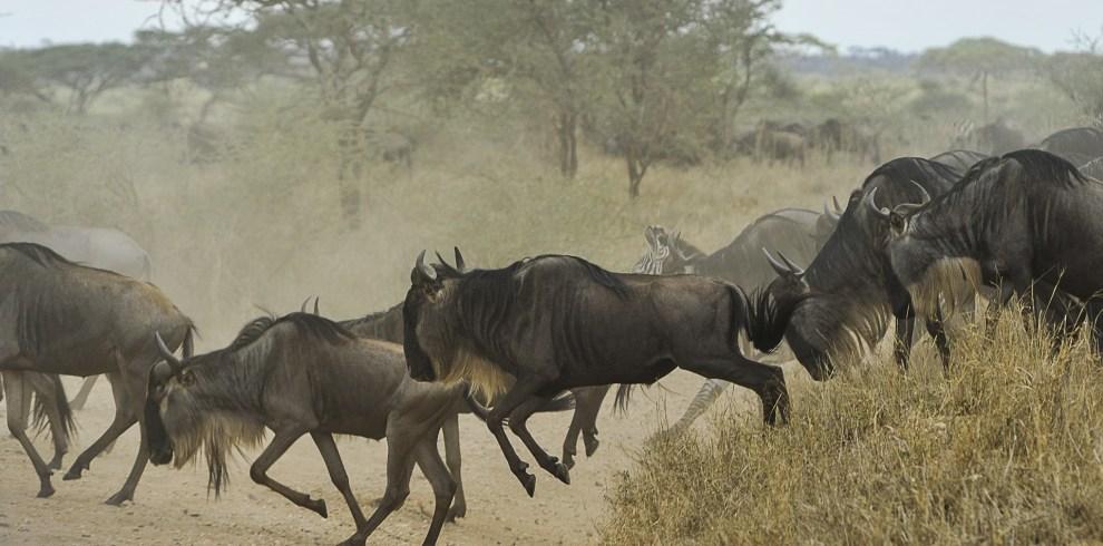 Wildebeest in Serengeti National Park