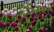 Killarney Spring Growth13