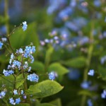 BrunneraMacrophylla