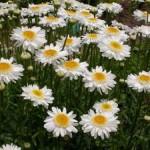 ChrysantheumumSunnySideUp