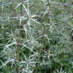 EryngiumVariifolium