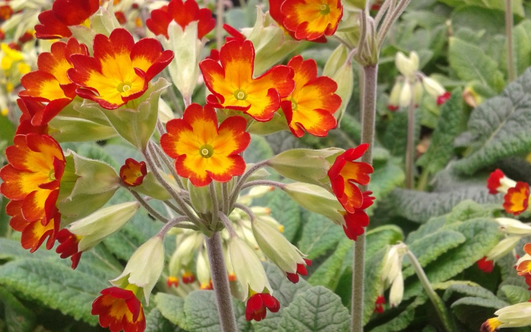 Plant of the Week – Primula veris 'Sunset Shades'
