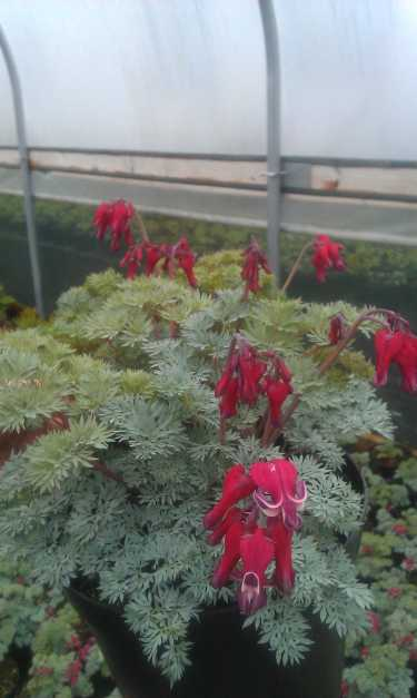 Plants of the Week – Dicentra 'Ivory Hearts' and Dicentra 'Burning Hearts'