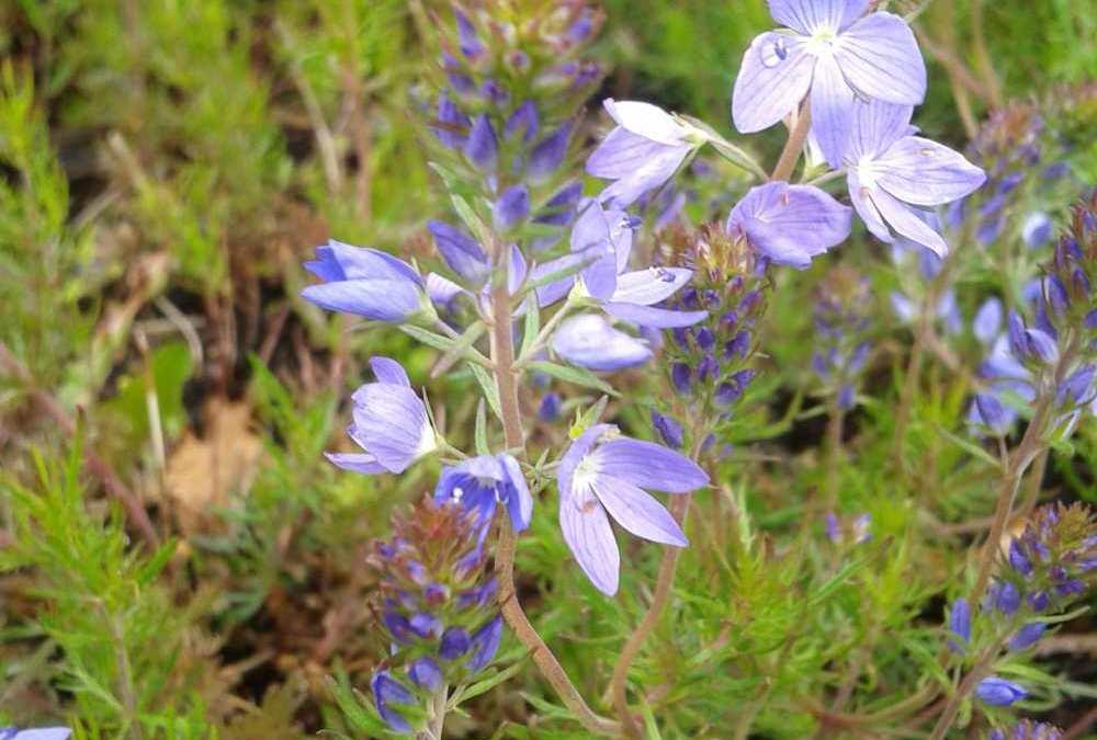 Plant of the week – Veronica austriaca 'Ionian Skies'