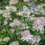 Astrantia-major-Buckland