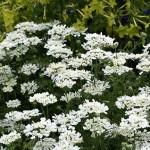 Orlaya-grandiflora-Lace-Flower