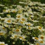 Anthemis-tinctoria-Lemon-Ice