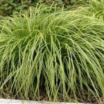 Carex-dolichostachya-Gold-Fountain