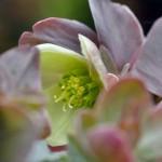 Helleborus-x-nigercors-Emma